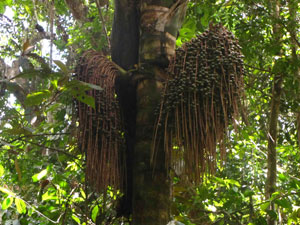 ungurahua-tree